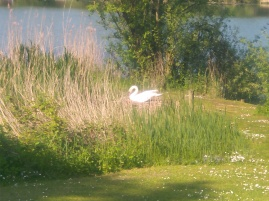 Mother Swan on her nest.